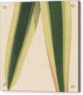 Yucca Leaf Acrylic Print