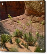 Yucca Plants Valley Of Fire Acrylic Print