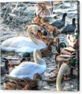 Yury Bashkin Ducks Stockholm  Acrylic Print