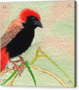 Zanzibar Red Bishop Acrylic Print