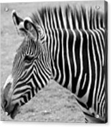 Zebra - Here It Is In Black And White Acrylic Print