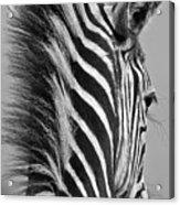Zebra Baby Acrylic Print