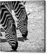 Zebra Beauty Acrylic Print