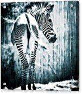 Zebra Blues  Acrylic Print