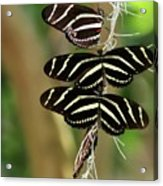 Zebra Butterflies Hanging On Acrylic Print