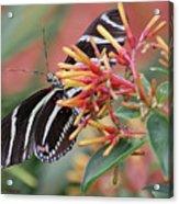 Zebra Butterfly With Blue Eyes Acrylic Print