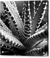 Zebra Cactus Bw Acrylic Print
