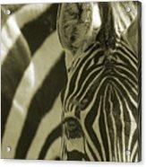 Zebra Close Up A Acrylic Print