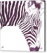 Zebra Colt Acrylic Print