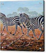 Zebra Crossing Acrylic Print