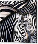 Zebra Family Acrylic Print