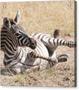 Zebra Foal Rolls In Dust On Savannah Acrylic Print