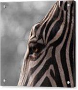 Zebra I Acrylic Print