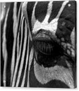 Zebra In Black And White Acrylic Print