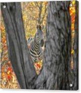 Zebra In Mopane Textures Acrylic Print