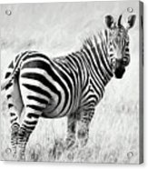 Zebra In The African Savanna Acrylic Print