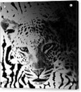 Zebra Kill Acrylic Print