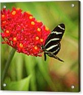 Zebra Long Wing Butterfly Acrylic Print