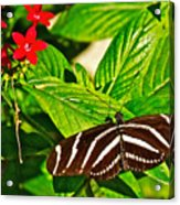 Zebra Longwing Butterfly In Living Desert Zoo And Gardens In Palm Desert-california  Acrylic Print