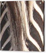 Zebra Mane Acrylic Print