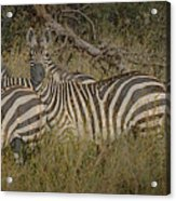 Zebra On The Serengeti Acrylic Print