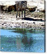 Zebra poster Acrylic Print