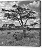 Zebra Running Through Savannah Acrylic Print