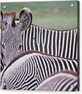 Zebra Stripes In Kenya Acrylic Print