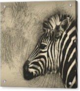 Zebra Study Acrylic Print
