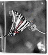 Zebra Swallowtail Butterfly 2016 Acrylic Print