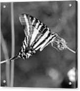Zebra Swallowtail Butterfly Black And White Acrylic Print