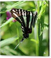 Zebra Swallowtail Butterfly In Green Acrylic Print