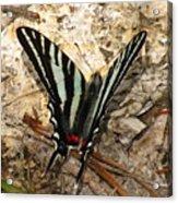 Zebra Swallowtail Acrylic Print