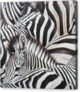 Zebra Triptyche Middle Acrylic Print
