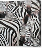 Zebra Triptyche Right Acrylic Print