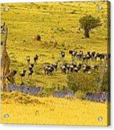 Zebra, Wildebeest And Giraffe Acrylic Print