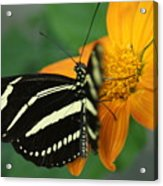 Zebra Wing Profile...   # Acrylic Print