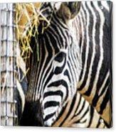 Zebra Zee Acrylic Print
