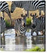 Zebra15 Acrylic Print