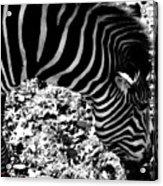 Zebra2 Acrylic Print