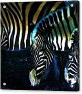Zebras Glow Acrylic Print