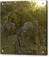 Zebras In A Glen Acrylic Print