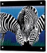 Zebras In Blue Oasis Acrylic Print