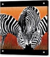 Zebras In Sunset Field Acrylic Print