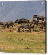Zebras In The Ngorongoro Crater, Tanzania Acrylic Print