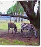 Zebras Under Oaks Acrylic Print
