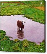 Zen Cow Acrylic Print