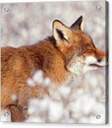 Zen Fox Series - Happy Fox IIn The Snow Acrylic Print