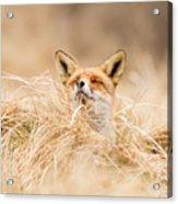 Zen Fox Series - Zen Fox 2.7 Acrylic Print