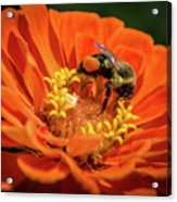 Zinnea With Honeybee Acrylic Print